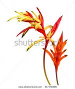 Heliconia clipart