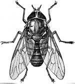 Horse-fly clipart