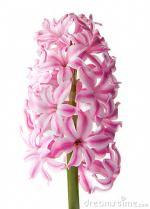 Hyacinth clipart