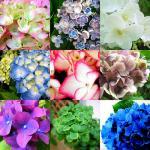Hydrangea coloring