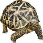Indian Star Tortoise clipart