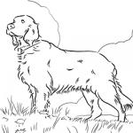 Irish Setter coloring
