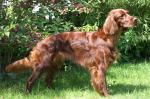 Red Setter coloring