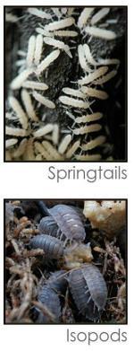 Isopod svg