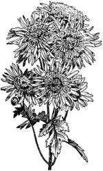 Japanese Anemone clipart