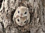 Siberian Flying Squirrel coloring