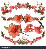 Japanese Quince clipart