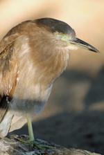Juvenile Night Heron svg