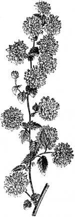 Kerria Japonica clipart