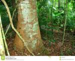 Kuranda Rianforest clipart