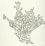 Lichen coloring