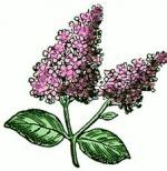 Lilac clipart