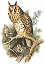 Long Eared Owl clipart