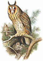 Long Eared Owl clipart