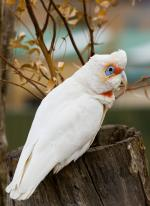 Long-billed Corella svg
