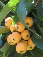 Loquat Berries coloring