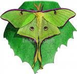 Luna Moth coloring