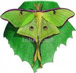 Luna Moth coloring