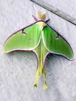 Luna Moth svg