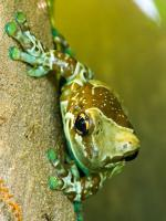 Magnificent Tree Frog coloring