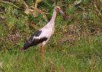 Maguari Stork clipart