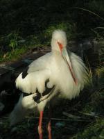 Maguari Stork svg