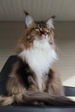 Maine Coon coloring