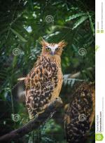 Malay Eagle Owl clipart