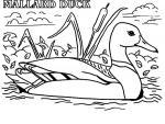 Mallard coloring