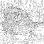 Mandarin Duck coloring