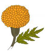Marigold coloring
