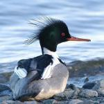 Merganser Duck coloring