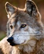 Mexican Gray Wolf clipart