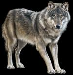 Mongolian Wolf clipart
