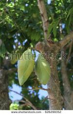 Moreton Bay Chestnut clipart