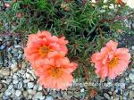 Moss Rose coloring