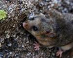 Mountain Pygmy Possum clipart