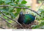 Nicobar Pigeon clipart