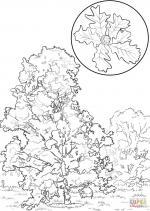 Oak coloring