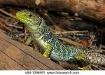 Ocellated Lizard clipart