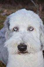 Old English Sheepdog coloring