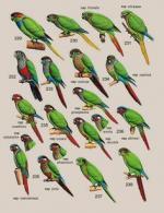 Olive-Throated Parakeet svg