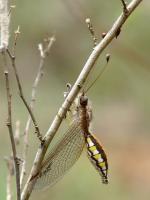 Owlfly svg