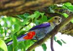 Pale-headed Rosella svg