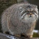 Pallas's Cat coloring