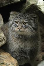 Pallas's Cat svg