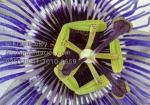 Passiflora clipart