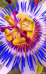 Passion Flower coloring