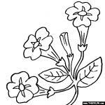 Petunia coloring