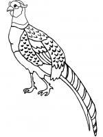 Pheasant coloring